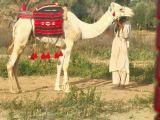 جذع حر سوداني طوع شرط