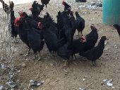 صوص دجاج بلدي اسود وملون