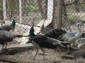فروخ طاووس الوان مميزة للبيع