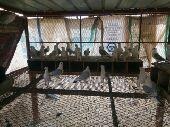 شبكة حمام حب الرمان ازرق ومسكي