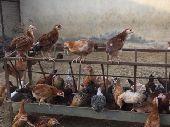 فراريج دجاج