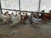جده دجاج برهما  بأنتاجه