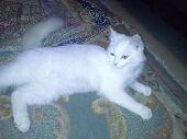 قطة امها امريكية وابوها شيرازي صغيرة