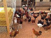 دجاج بياض وحضان