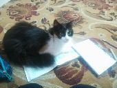 قطة انثى للبيع في ينبع