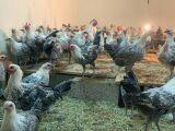 دجاج  وديوك فيومي  سلالة أصل