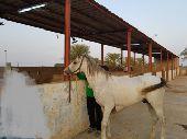حصان شعبي جمييل
