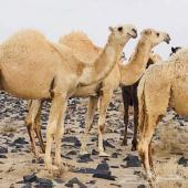 راعي ابل نياق سوداني