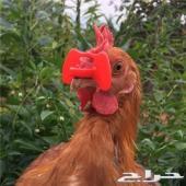 نظارات دجاج