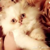 قطه شيرازي مكس هملاي انثى
