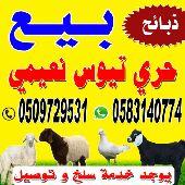 ذبايح برية للبيع (sheeps for seal)