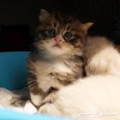 قط قطه قطط صغار للبيع الفيس كيوت