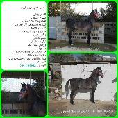 حصان شعبي عربي للبيع