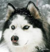 كلب هاسكيHusky بيور للبيع بالرياض