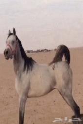 حصان شعبي للبيع الموقع شروره