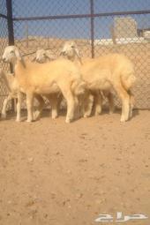 4 رخال صنف حريه في أملج - الحد800 ريال
