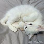 للبيع قطه شيرازية مهجنه