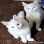 قطط شيرازي فرنسي للبيع