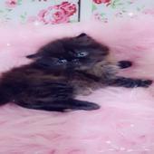 قطط بيكي فيس وهاف بيكي فيس