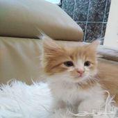قط شيرازي جميل ذكر -- شهرين ونصف