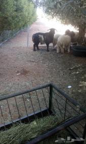 4 خروف نعيمي تربية مزرعة