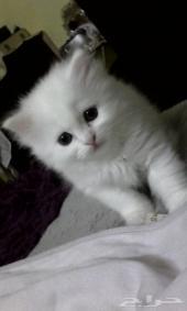قطه صغيرونه عيون زرقاء