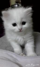 قطه كيوووت عيون زرقاء