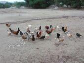 دجاج بلدي للبيع أو البدل بحمام فرنسي