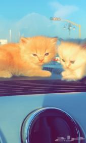 قطة شيرازي للبيع شهرين