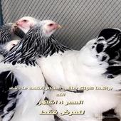 دجاج براهما وفيومي بيض مخصب فقاسات