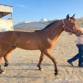 حصان عربي أصيل مهر للبيع
