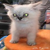 قطط شيرازي وهمالايا عمر شهرين