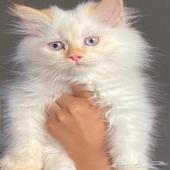 قطه   كيتن
