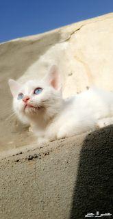 قطط كتن شيرازي أمريكي انثي