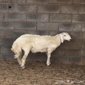 خروف للبيع الصفر