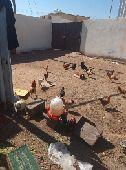 دجاج بلدي و ديك بلدي العدد 200