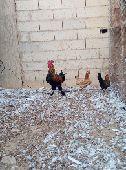 دجاج البيع بياض الموقع القريات    دجاج بياض