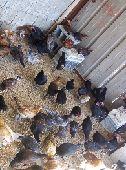 دجاج بلدي و صيصان بلدي وحباحب كويتي