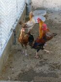 دجاج للبيع 25ريال