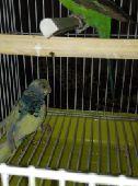 للبيع طيور حب   انثتين جاهزه الموق رياض