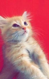 قطة شيرازية صغيرة للبيع