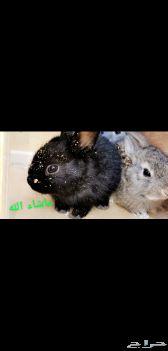 أرانب ذبح و أرانب صغيره الخرج