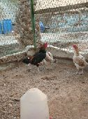 دجاج فارسي قزم