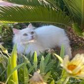 للبيع قطة شيرازيه بيضاء