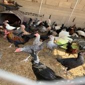 دجاج بلدي وفيومي تركي