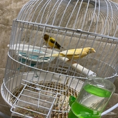 طيور كناري