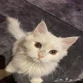 قطط شيرازي عمر شهرين ونص ابيض