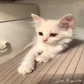 قطه شيرازيه اليفه للبيع