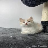 قط شيرازي كيتن