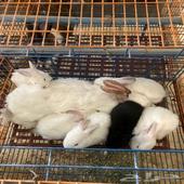 ارنب نيوزلندي لاحم حجم جانبو